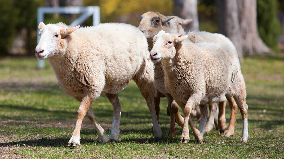 Sheep-to-Shawl - Historic Hudson Valley